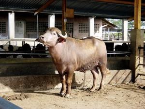 buffalypso